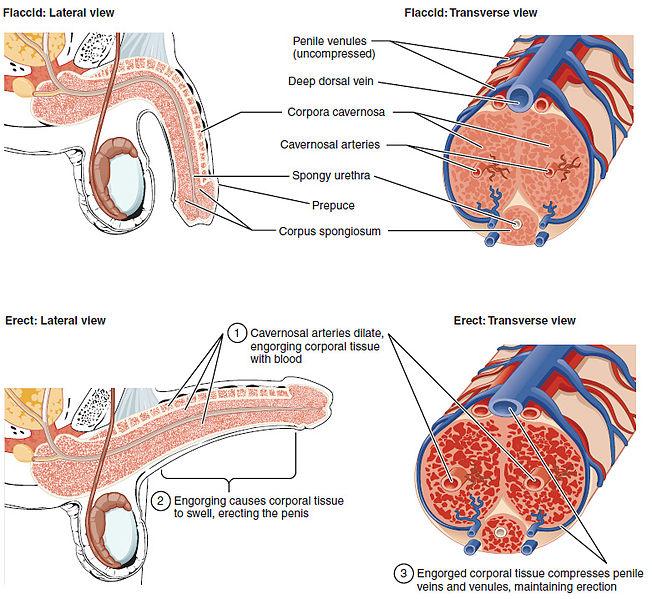 Erektiles Gewebe und Blutversorgung des Penis