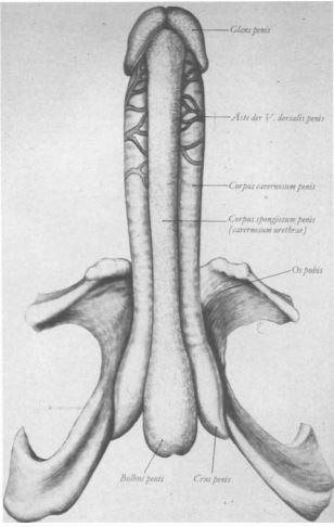 Penislänge erigiert